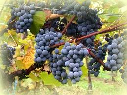 Vitis Vinifera - Wine Making and Wine Storage